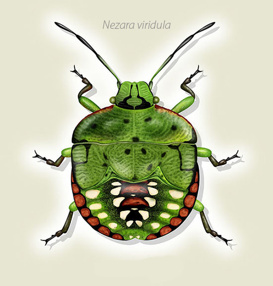 entomologycal illustration