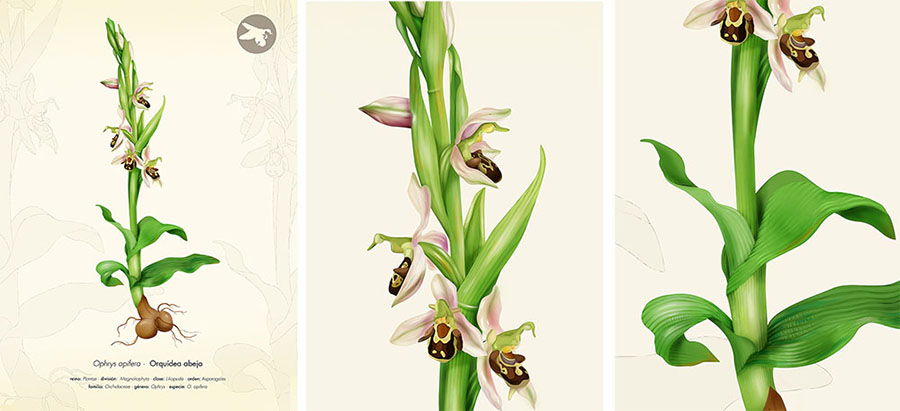 ophrys apifera, bee orchid